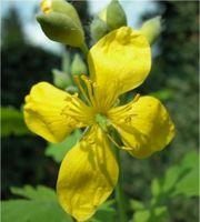 Blüte 4-strahlig: Schöllkraut Chelidonium majus