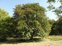 Ausgewachsener Baum (Foto: Andrea Moro)