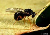 Dryocosmus kuriphilus IPM5410749.jpg