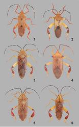 Figures 1–6. Dorsal view of Melucha spp. 1, Melucha aculeata Montandon, 1895 (male). 2, Melucha biolleyi Distant, 1900 (male). 3, Melucha dilatata (Fabricius, 1798) (male). 4, Melucha acutispina Breddin, 1903 (female). 5, Melucha chapadana Brailovsky, 1993 (female). 6, Melucha lineatella (Fabricius, 1798) (male).