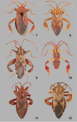 Figures 7‒12. Dorsal view of Melucha spp. 7, Melucha gladiator (Fabricius, 1803) (female). 8, Melucha quadrivittis Stål, 1862 (female). 9, Melucha phyllocnemis (Burmeister, 1835) (male). 10, Melucha quinquelineata Stål, 1865 (male). 11, Melucha grandicula sp. n. (female). 12, Melucha perampla sp. n. (female).