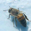 Dwv honey bee.jpg
