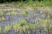 Dysphania botrys: Pflanzen im Bereich eines trockenen, rel. nährstoffarmen Ruderalstandorts bei Neunkirchen-Heinitz (Saarland), 29.08.2014 (Foto: Rolf Wißirchen)
