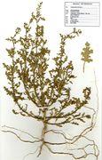 Dysphania botrys: Süd-Frankreich, bei Bezier (Herb. Wissk.) (Foto: Rolf Wißkirchen)