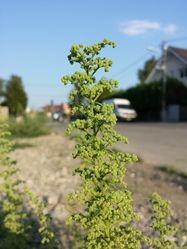 Klebriger Drüsengänsefuß: Blüte– Stefan.lefnaer, CC BY-SA 4.0