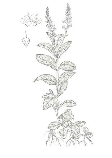 Echter Ehrenpreis (Pflanzentafel Natura Miriquidica e.V.).pdf