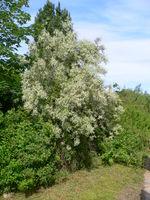 Elaeagnus angustifolia 20050608 859.jpg
