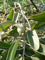 Elaeagnus angustifolia 20050905 942.jpg