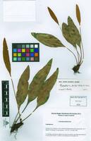Elaphoglossum barteri
