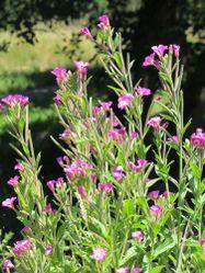 Zottiges Weidenröschen: Pflanze– Jon Peli Oleaga Olabarria, CC BY-SA 3.0
