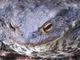 Kopf einer ♀ Erdkröte– Bufo bufo.