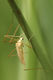 Erioptera flavata