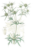 distelartige Blätter des Feld-Mannstreu (Bildtafel 583 aus Flora Regni Borussici, 1841, Bd. 9)