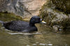 Eurasian common scoter.jpg