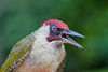 European Green Woodpecker.jpg
