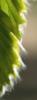 weiße Härchen am Blattrand eines jungen Rot-Buchenblattes