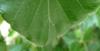 Blattrand mit langen, dünnen, weißen Härchen