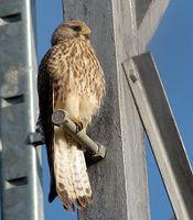 Turmfalke (Falco tinnunculus), Foto von T. Trilar