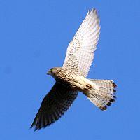 Fliegender Turmfalke (Falco tinnunculus), Foto von T. Trilar
