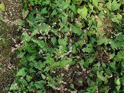 Fallopia convolvulus: Acker bei Oeverich (nahe Remagen), 23.09.2010 (Foto: Rolf Wißkirchen)