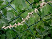 Fallopia convolvulus: Blütenstand an einem Zaun im Ackerland bei Oeverich (nahe Remagen), 23.09.2010 (Foto: Rolf Wißkirchen)