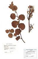 Fallopia japonica var. compacta: Herbarbeleg einer funktional weibl. Pflanze (Foto: G. Hagedorn & BGBM-Berlin)