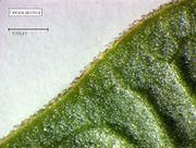 Fallopia japonica var. japonica: Ausprägung des Blattrands (Foto: Rolf Wißkirchen)