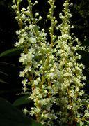Fallopia japonica: Blüten einer funktional weibl. Pflanze (Foto: Rolf Wißkirchen)