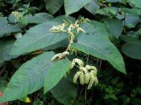 Fallopia sachalinensis: Blütenstand einer funktional weibl. Pflanze (Foto Rolf Wißkirchen)