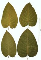 Fallopia sachalinensis: Blattvariabilität (Foto: Rolf Wißkirchen)