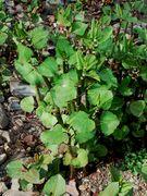 Fallopia × bohemica: Jungpflanze nach dem Wiederaustrieb. Siegufer bei Röcklingen, 25.04.2002 (Foto: Rolf Wißkirchen)