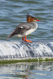 Female Mergus merganser americanus at Las Gallinas Wildlife Ponds.jpg