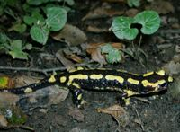 Feuersalamander (Photo: Paul Bachhausen)