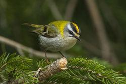 Sommergoldhähnchen: Weibchen - Francesco Veronesi, CC BY-SA 2.0