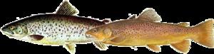 Fische Tiere von dunkler oder silbriger Grundfärbung.png