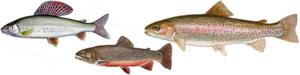 Fische forellenartig.png