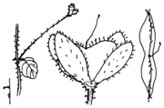 Abb. 1, Veronica filiformis