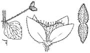 Abb. 2, Veronica persica