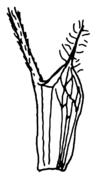 Abb. 3 Trifolium pratense Nebenblätter