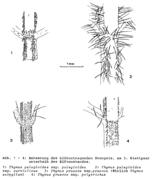 Abb. 1-4: Behaarung des blütentragenden Stengels, am 3. Blattpaar unterhalb des Blütenstandes