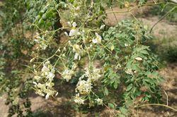 alt=Description of Flowers of Moringa oleifera (Drumstick tree).jpg picture.