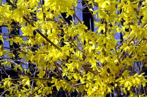 Blühender Forsythia-Strauch