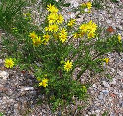 Frühlings-Greiskraut: Pflanze– Darkone, CC BY-SA 2.5