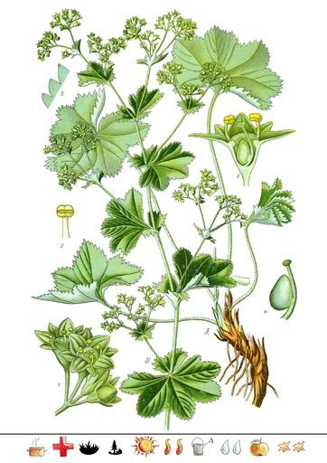 Frauenmantel (Pflanzentafel Natura Miriquidica e.V.).pdf
