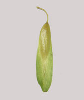 Fraxinus excelsior fruit grey background JR Press.jpg