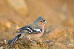 Buchfink: Alttier (adult) - Gilles San Martin, CC BY-SA 2.0