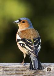 Buchfinken Männchen - MichaelMaggs, CC BY-SA 2.5