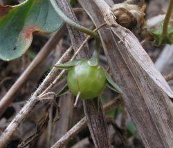 Frucht– Juandev, , CC BY-SA 3.0