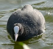 Fulica atra, face on.jpg