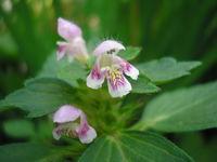 Blüte von Galeopsis tetrahit (Foto: Julia Kruse)